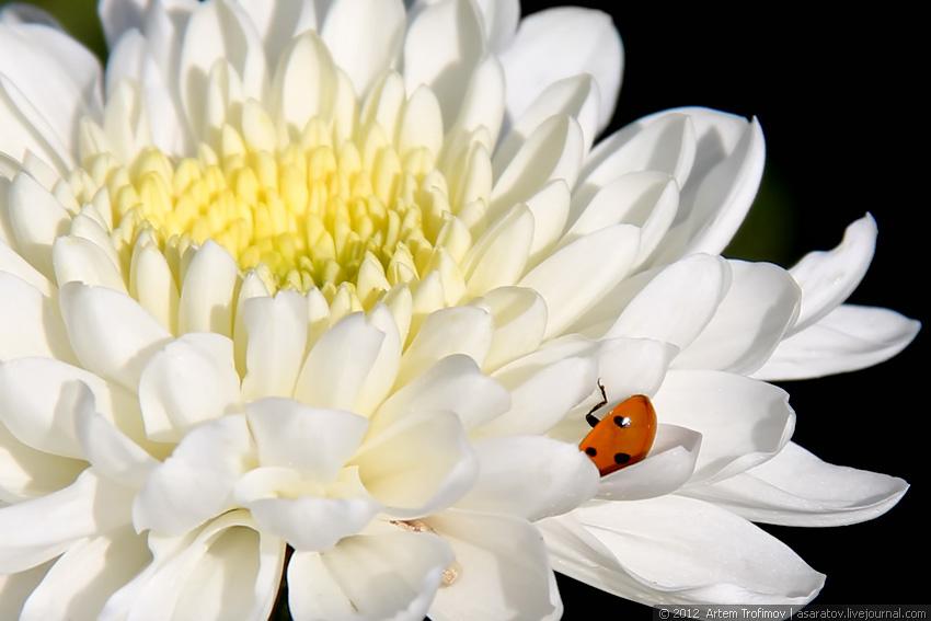 Божья коровка в лепестках хризантемы