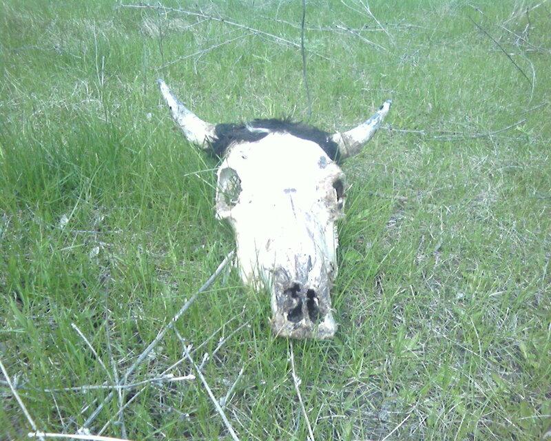 Коровьи черепа
