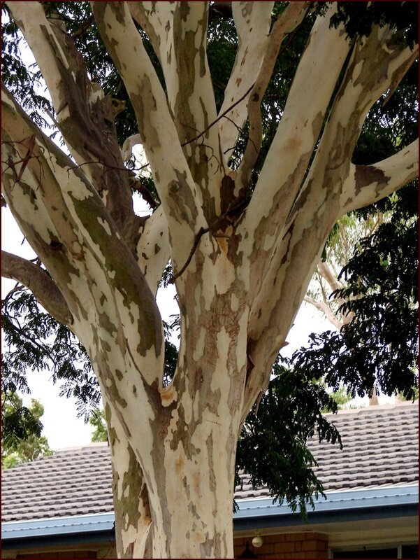 Leopard tree - Caesalpinia ferrea