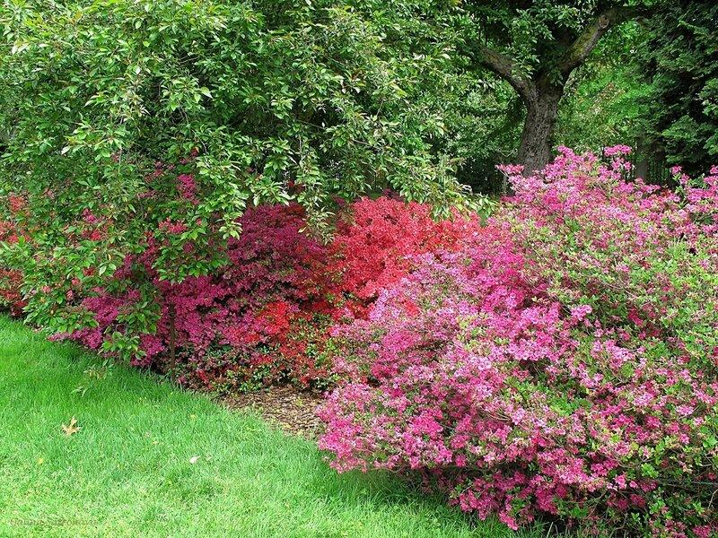 цветущие азалии. Prospect Park, Brooklyn