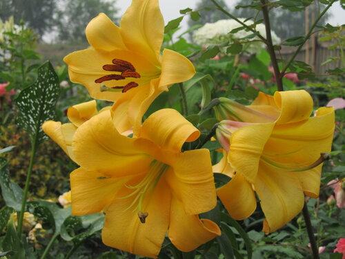 Лилия от гибрид салтарелло