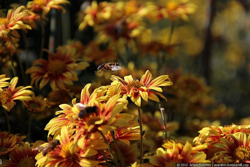 Пчела подлетает к цветку оранжевой хризантемы