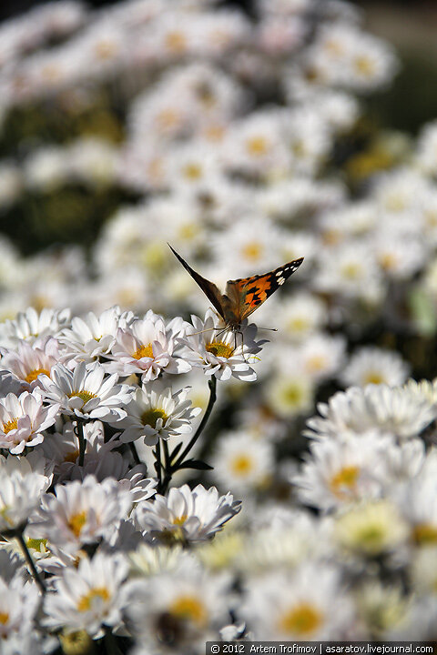 Бабочка на белых хризантемах