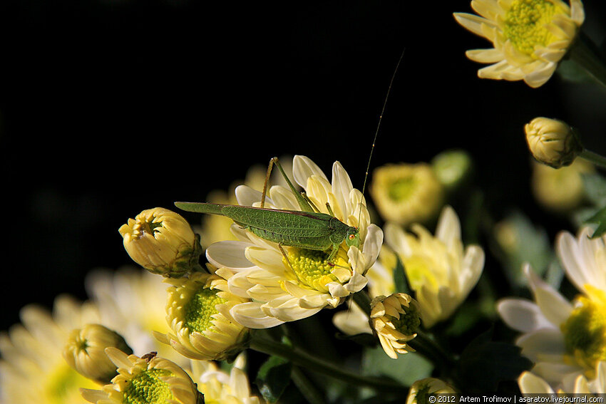 Саранча на цветке хризантемы в Никитском ботаническом саду