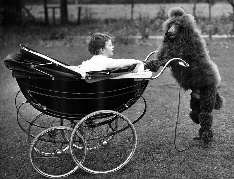 Poodle Nanny