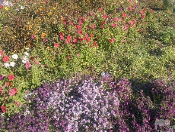 Осенние цветы Забайкалья