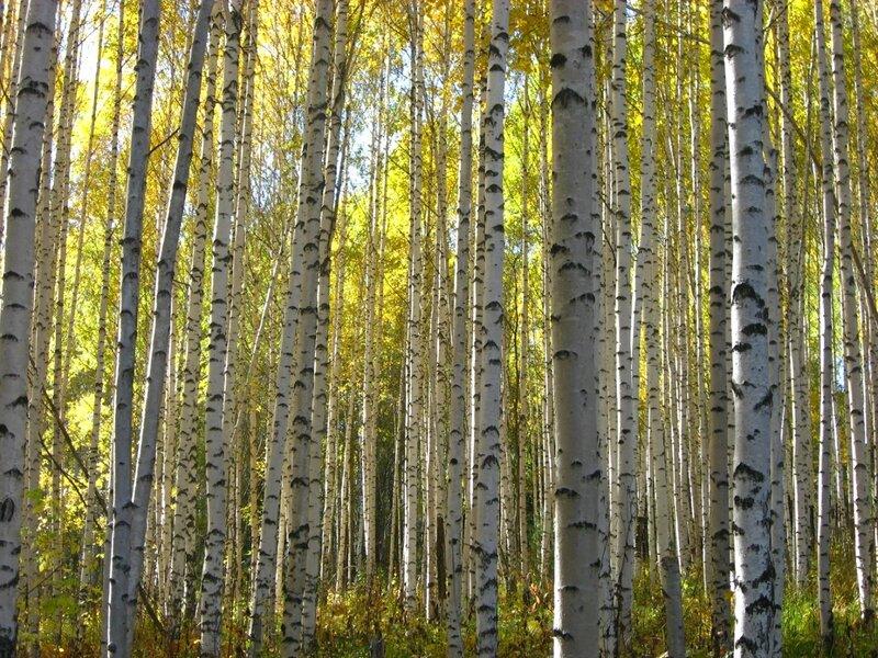 осень, Сибирь, лес