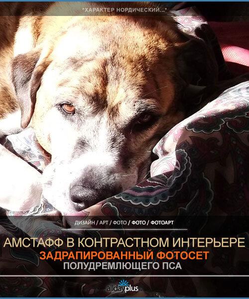 Фотосессия пса породы американский стаффордширский терьер. Октябрь 2012 г. от Р. Х.