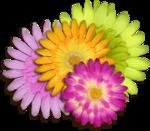RD_SummerBreeze_flowercluster.png
