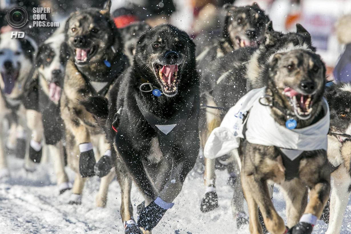 США. Уиллоу, Аляска. 2 марта. Бегущие и довольные. (REUTERS/Nathaniel Wilder)