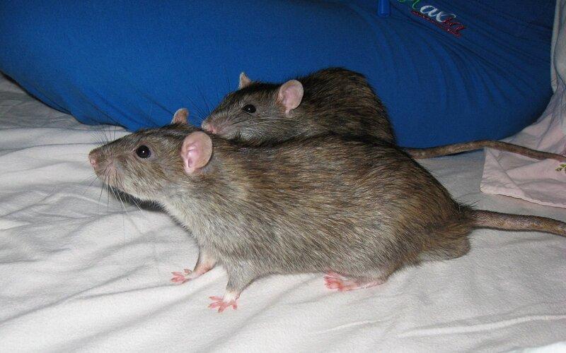 Два крыса