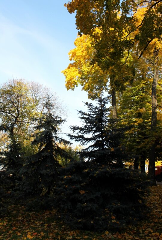 Ели Мариинского парка