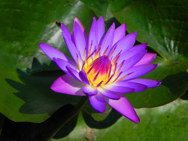 Лотосы, нимфеи, кувшинки, водяные лилии