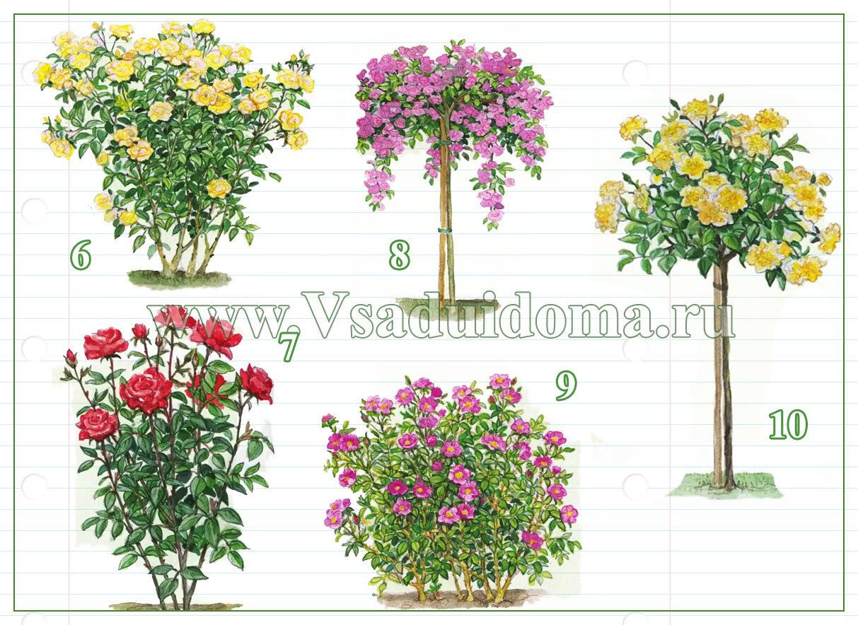 Как размножить чайную розу