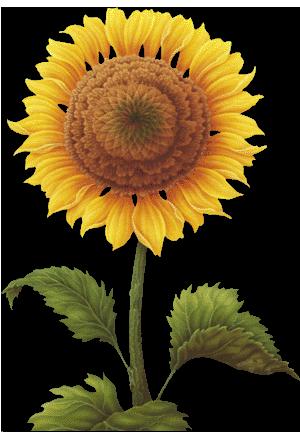 seffaf ay çiçek