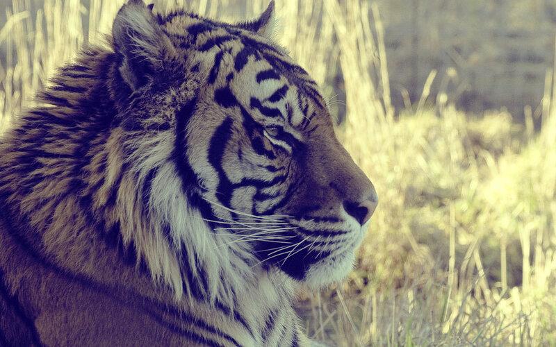 Обои, картинки поиск: Tiger, страница: 29 - FxFp.ru