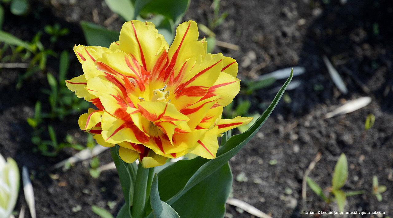 Гомельские тюльпаны
