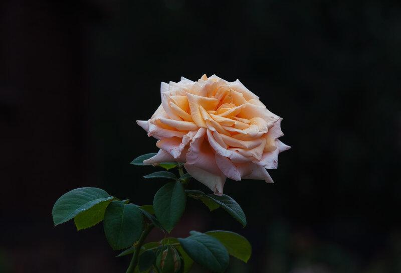 Цветок – надежда и отрада,И воплощение всего,О роза! Королева сада!