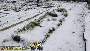 овёс под снегом