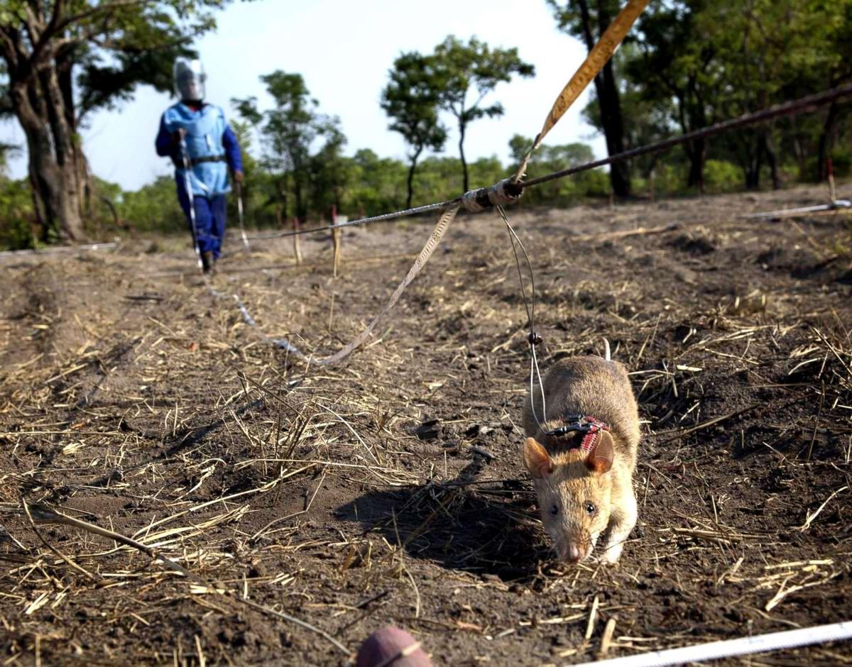 Гамбийские крысы, как лучшие саперы и вынюхиватели противопехотных мин (12)