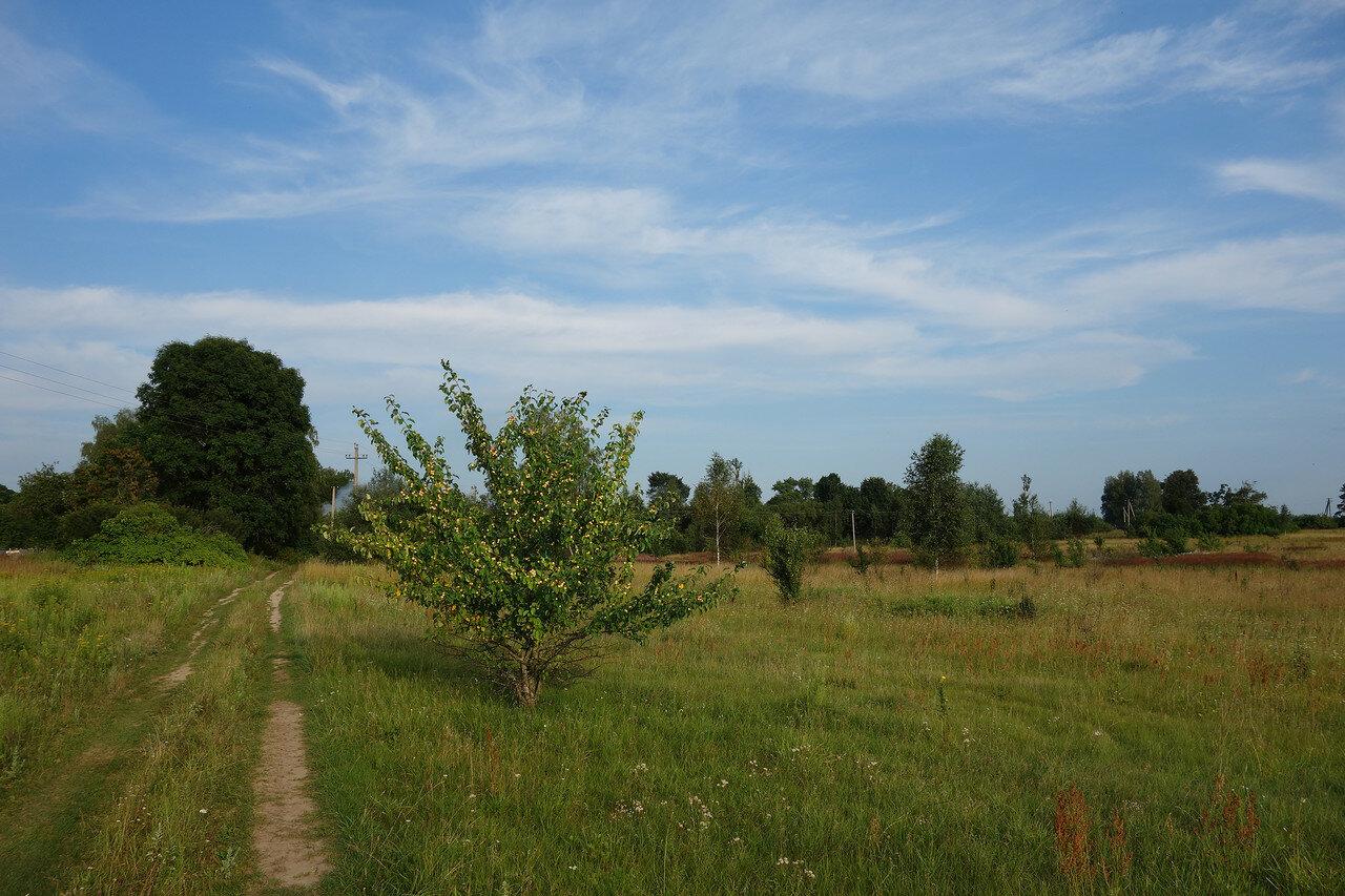 яблоня-китайка у деревни Герасименки
