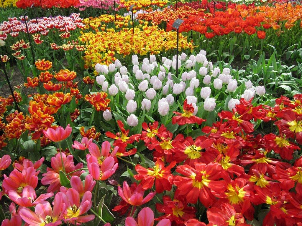 Netherlands_Tulips_Many_442436.jpg