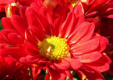 садова хризантема
