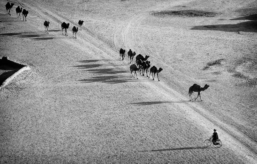 11. Афганец, проезжающий на велосипеде мимо верблюдов. (AP / Kevin Frayer)