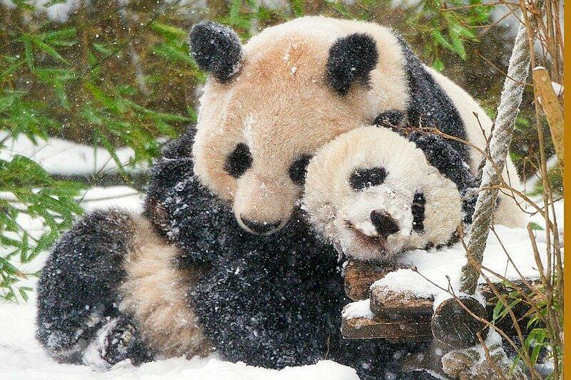 Панда и её детёныш согреваются во время снегопада в Китае.