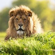 Лев греется