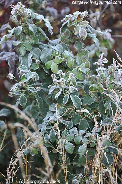 Rosa Kew Gardens (52).JPG