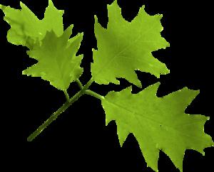 дубовая ветка