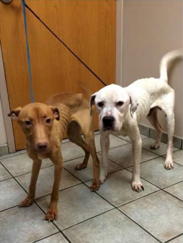 Эмми (слева) и Оскар (справа) были доставлены к врачам благотворительной организации. Собаки были кр
