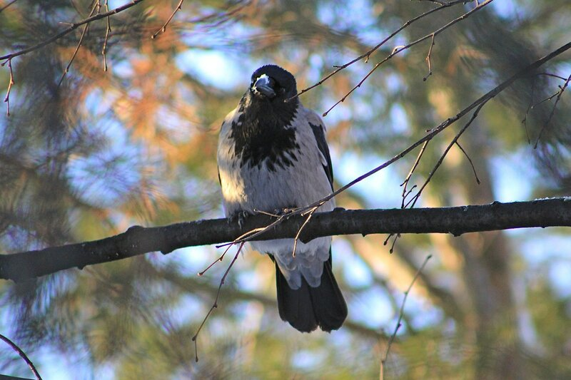 Ворона сидит на ветке и смотрит на сову бородатую неясыть