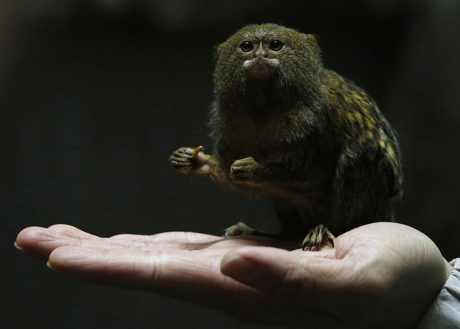 A Hong Kong Ocean Park worker poses with a pygmy marmoset, the world's smallest monkey, in Hong