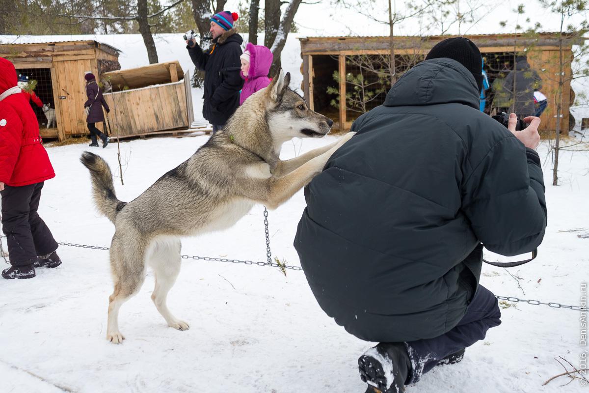 Питомник сибирских хаски DogWinter 9