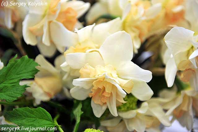 Narcissus Wings.JPG