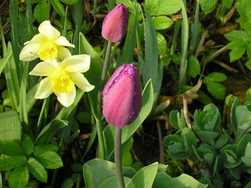 Тюльпаны, для себя