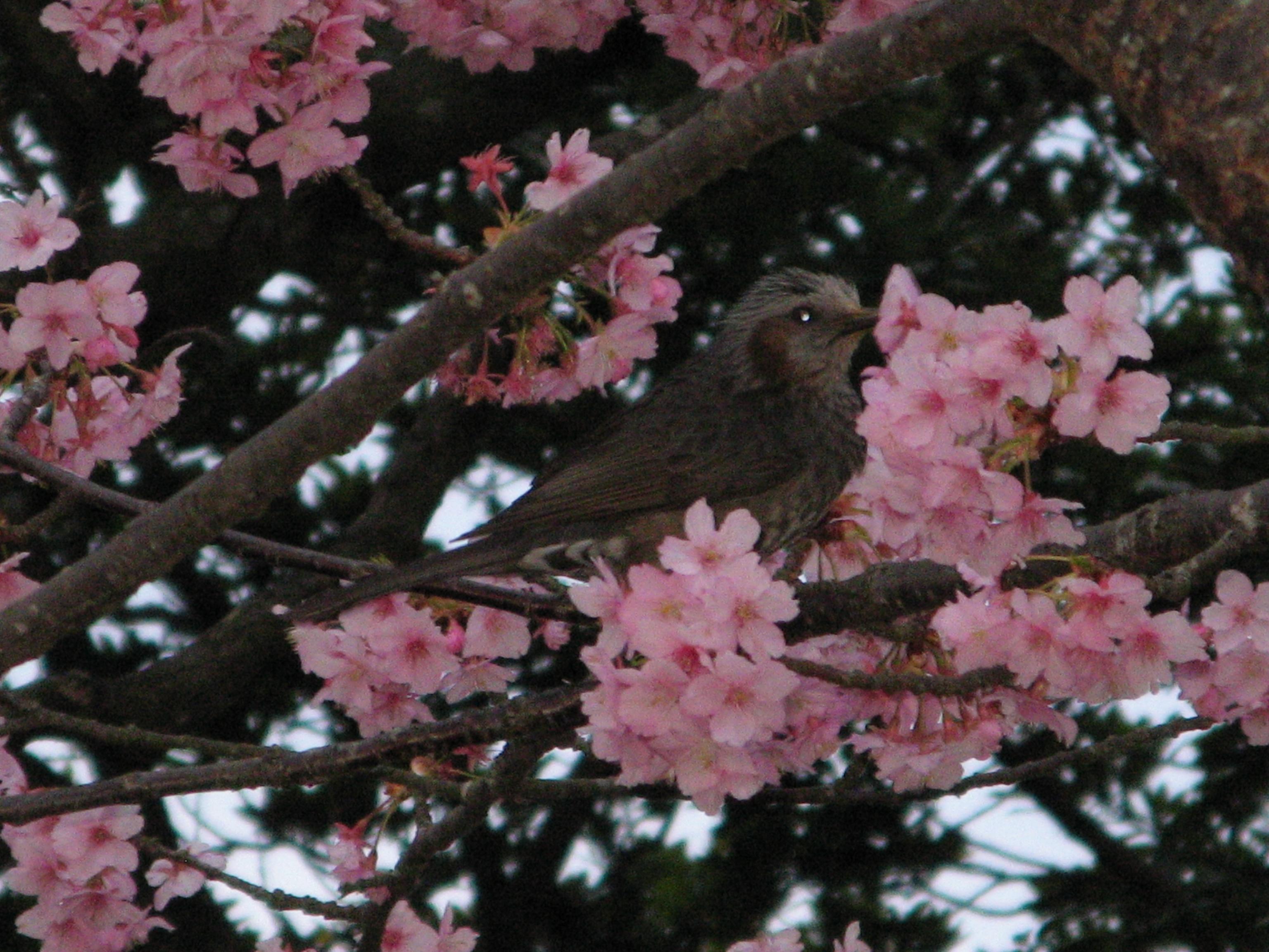 Япония. Цветение слив на острове Эносима