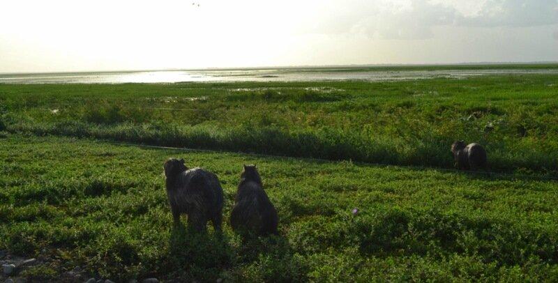 Фотографии самого большого грызуна капибары из Венесуэлы