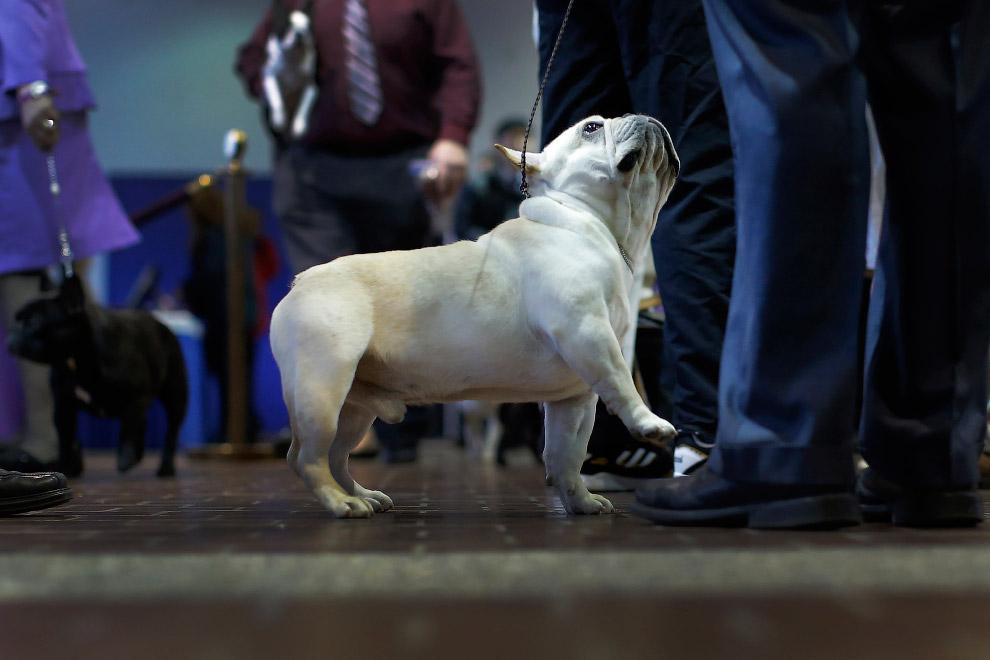 3. Бишон фризе. Это французская маленькая порода собак из группы бишонов (болонок). B переводе