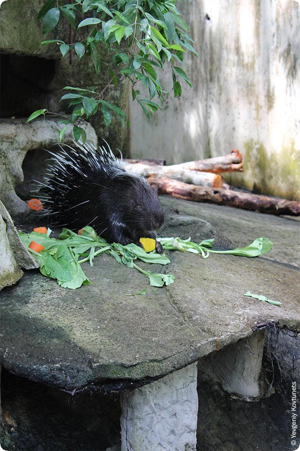 дикообраз в Кхао-Кхео, открытый зоопарк в Тайланде