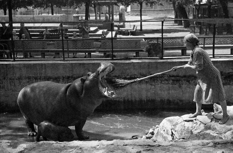 391416 Чистка зубов гиппопотамихе в Московском зоопарке.jpg