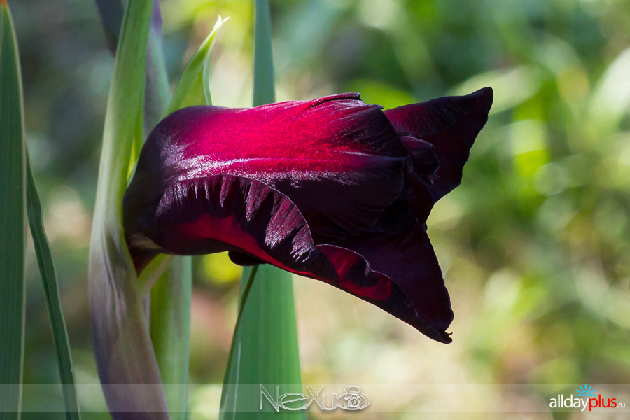 Я люблю все цветы, выпуск 209 | Гладиолус - «маленький мb50еч».