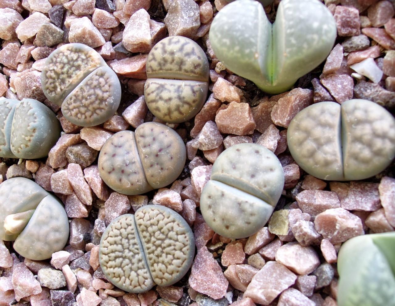 Картинки по запросу 10. Живые камни.