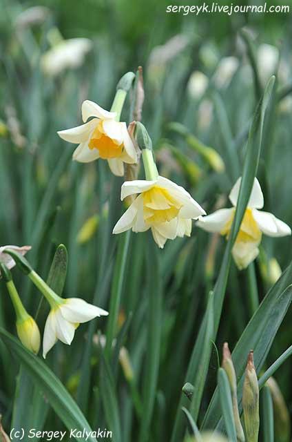 Narcissus Sweet Love.JPG