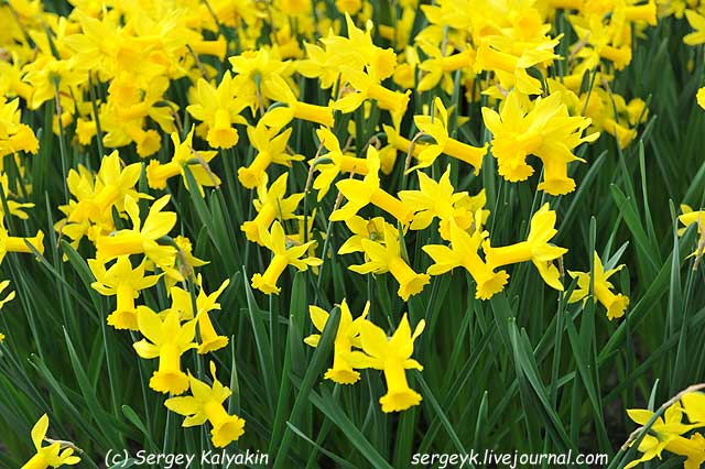 Narcissus Tweety Bird (2).JPG
