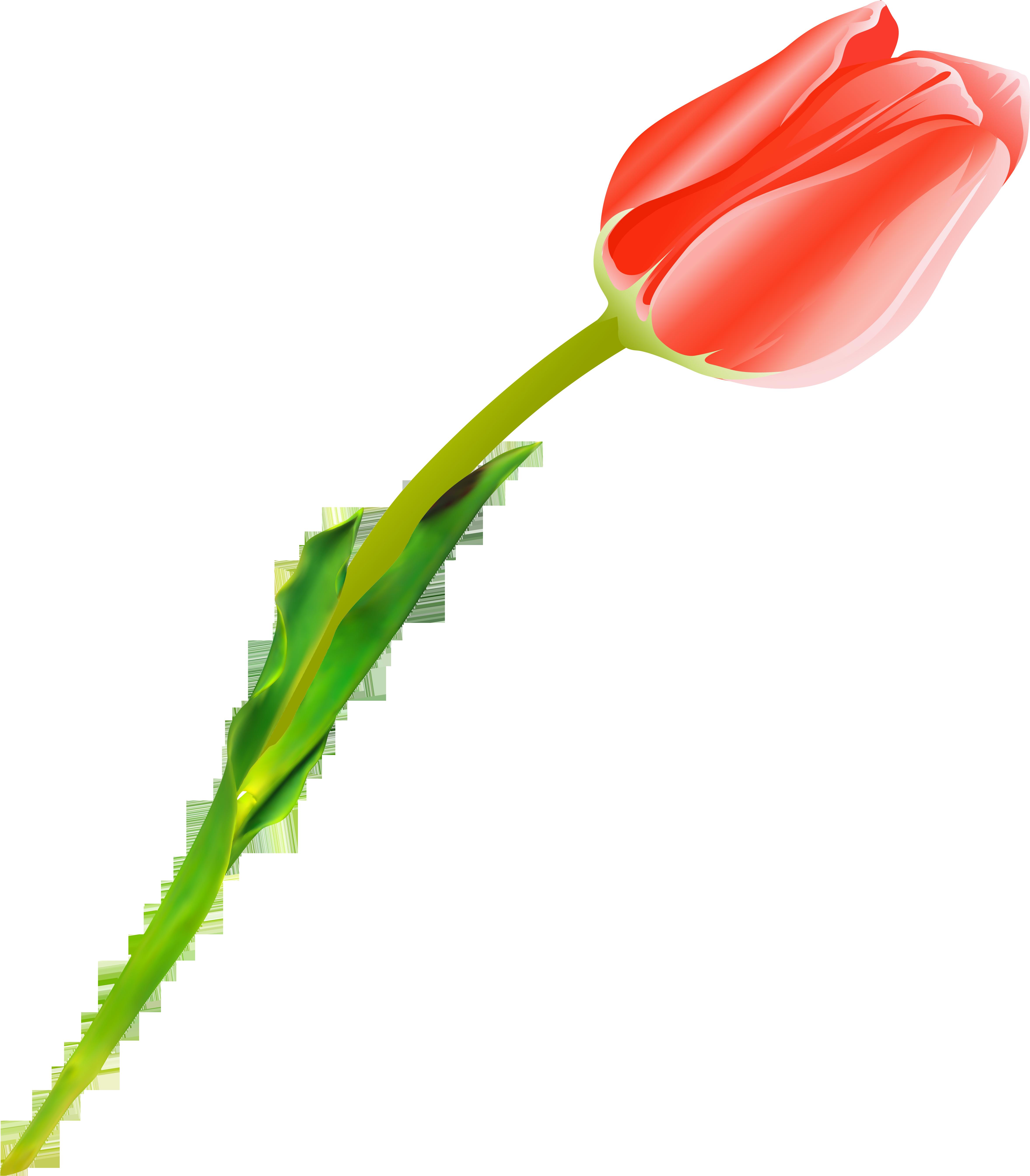 Картинка тюльпаны на прозрачном фоне, открыток миру