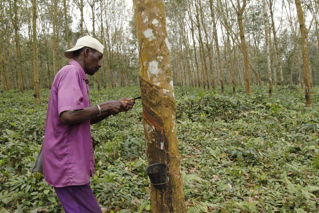 A worker collects sap from a rubber tree at a farm in Songon village, north of Abidjan February 3, 2