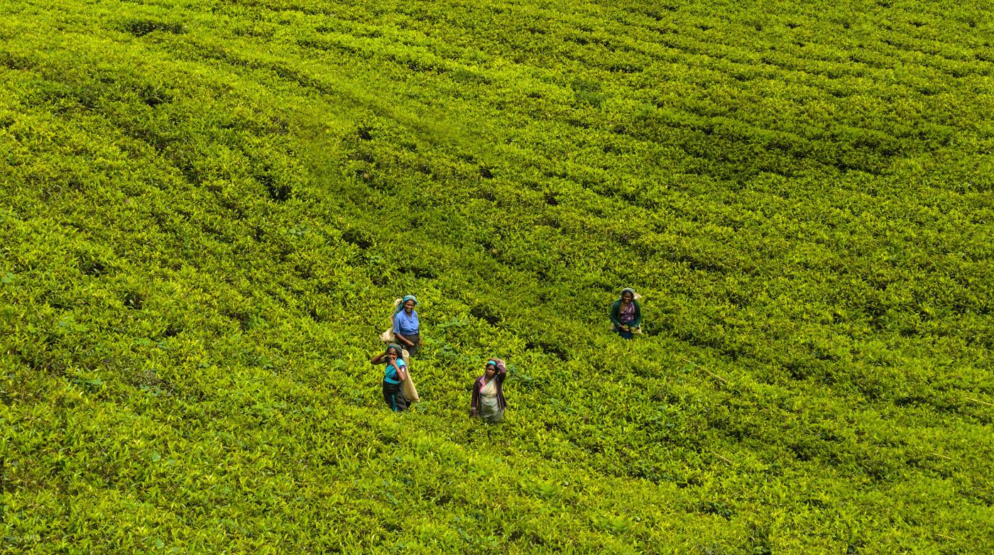 Фото 5. Сборщицы чая на чайной плантации Mackwoods Labookellie в Шри-Ланке. Отзывы о самостоятельной экскурсии. Путешествие по стране за рулем арендованной машины.